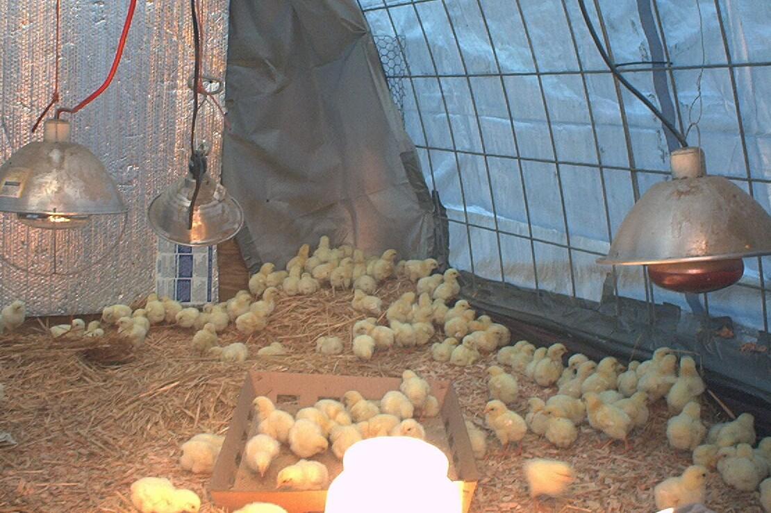 chicksday2.JPG