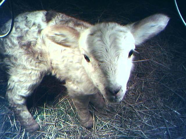 lamb pre-dead