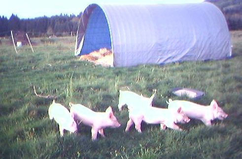 pigsday1.jpg