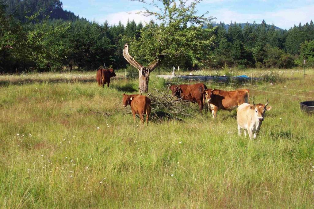 steers in 2007