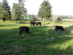 April cattle